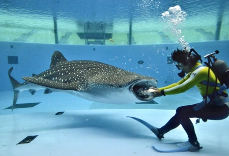 A diver feeds to a whale shark