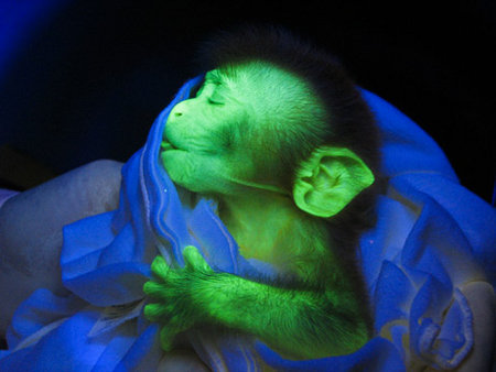 Transgenic Green Glowing Marmoset (Callithrix jacchus)