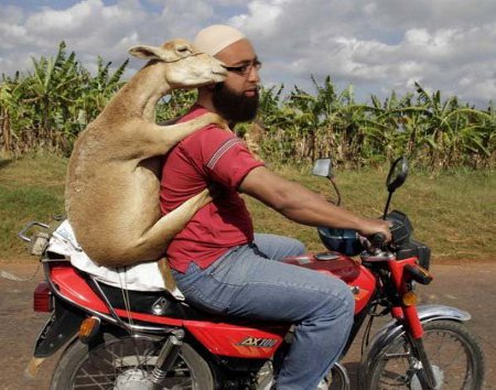 Raghead With Sheep On Bike - Muslim Dating At Its Finest - Note: No Human or Muslim Females Were Harmed In The Making Of This Image