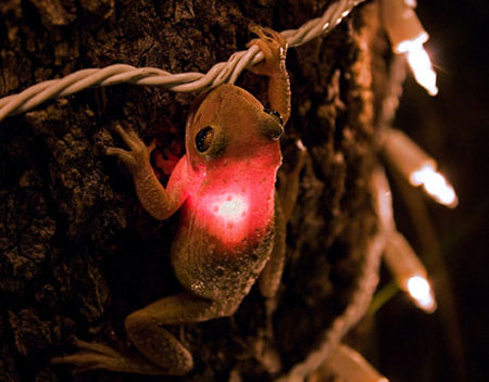 Christmas Frog - You just know that PETA will freak