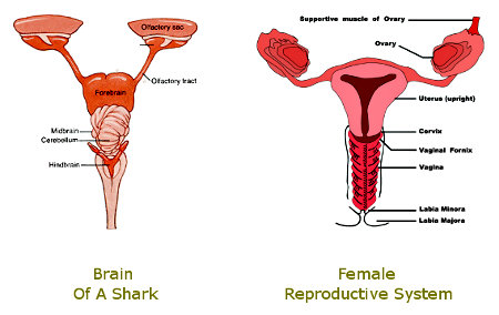 Shark Brain & Woman's Reproductive System