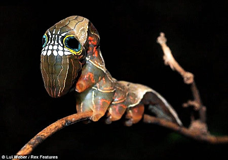 Phyllodes imperialis - Pink Underwing Moth caterpillar