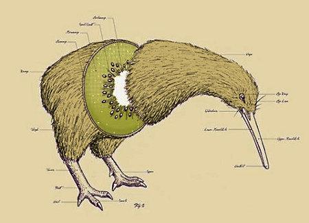 l'oiseau, de la famille des Apterygidae et du genre Apteryx (encore un gaulois ça !). Apteryx signifiant « sans ailes » en grec ancien.En regardant d'un peu plus près, il y a une ressemblance entre le fruit et l'oiseau. On peut donc supposer une origine commune. Dans ce cas, est-ce que c'est l'oiseau qui a donné son nom au fruit ou l'inverse ? Roulement de tambour. c'est l'oiseau qui remporte cette épreuve. En effet, le terme kiwi pour désigner le fruit n'est apparu qu'en 1953. Avant, le fruit était appelé groseille de Chine. De Chine car il en est originaire.