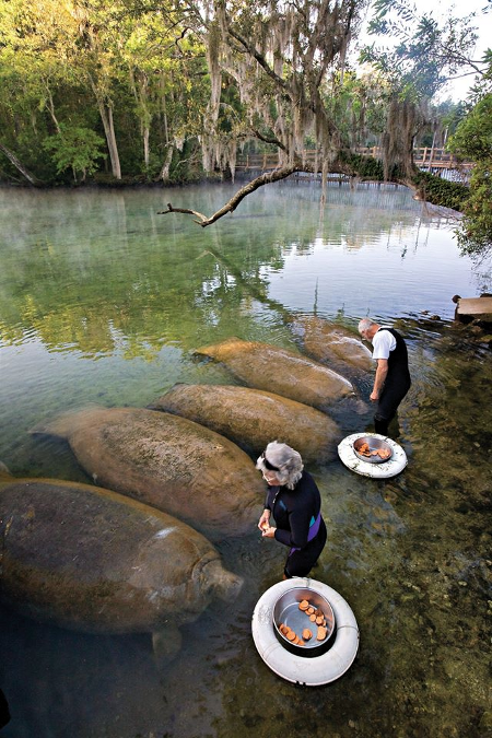 "Meanwhile In Florida ... An Elderly Couple Feed A Herd of Manatees No one said ""Hold my beer!"" No injuries or property damage occured"