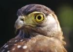 The Eye of the Falcon